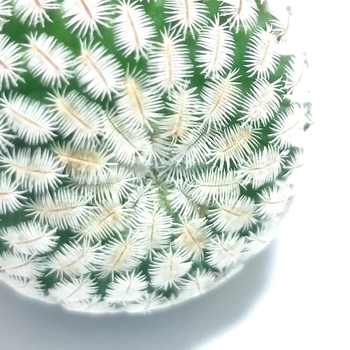 白斜子Mammillaria pectinifera