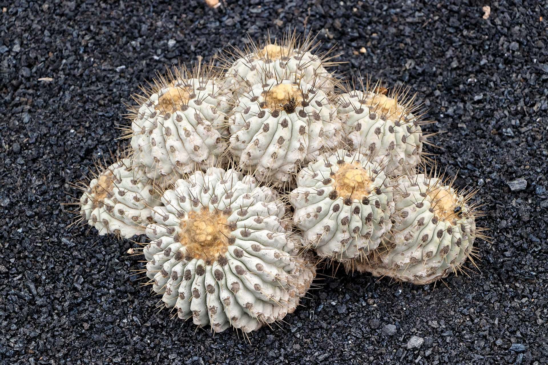 逆鳞丸Copiapoa haseltoniana