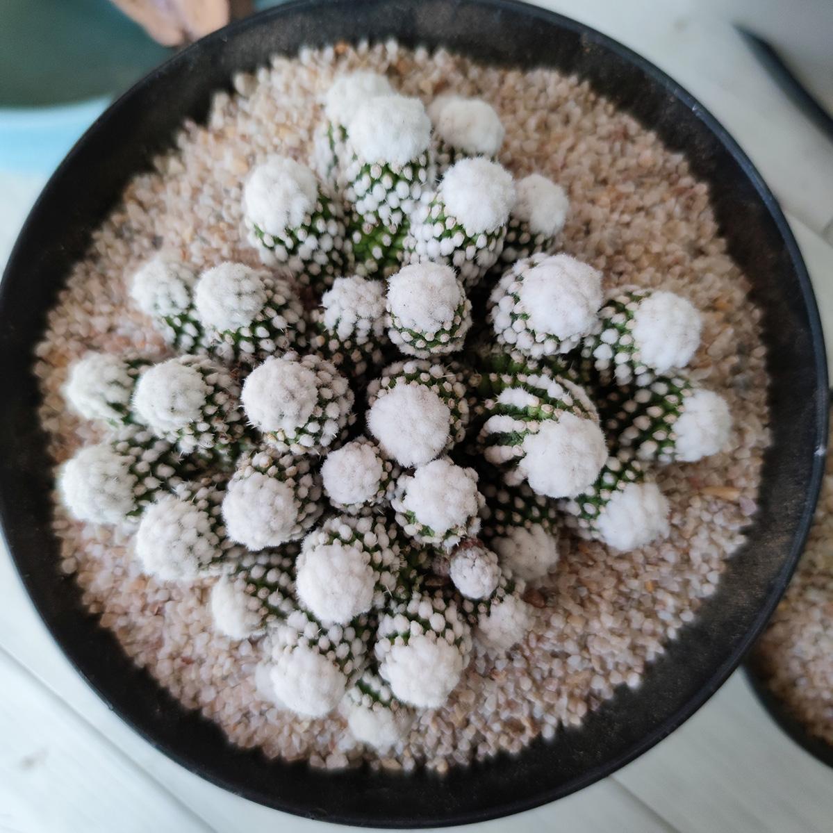 雪顶明日香姬Mammillaria vetula subs. gracilis cv. Arizona Snowcap