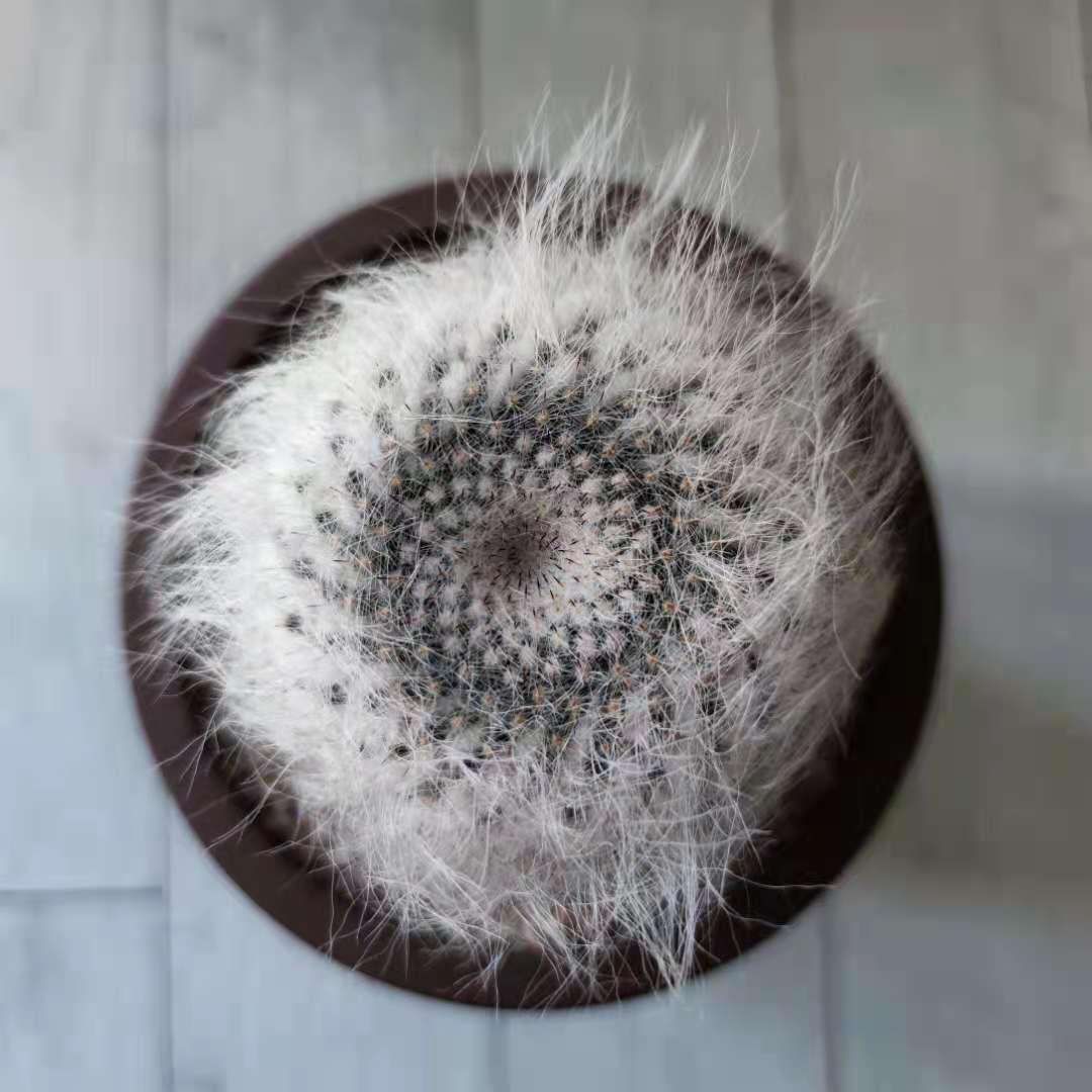 穴原玉翁殿仙人球Mammillaria hahniana f. lanata