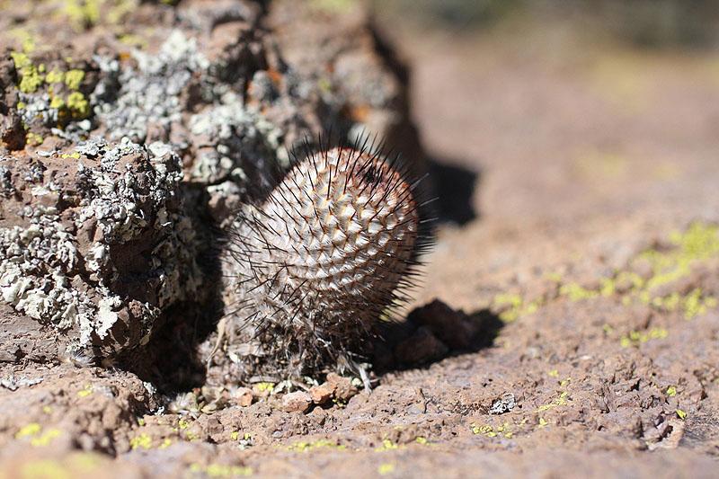 直刺佩雷Mammillaria perezdelarosae subs. andersoniana
