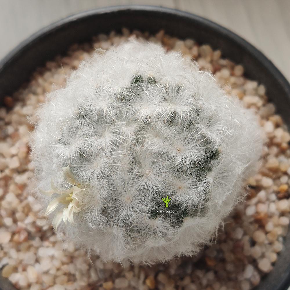 白星仙人球 Mammillaria plumosa