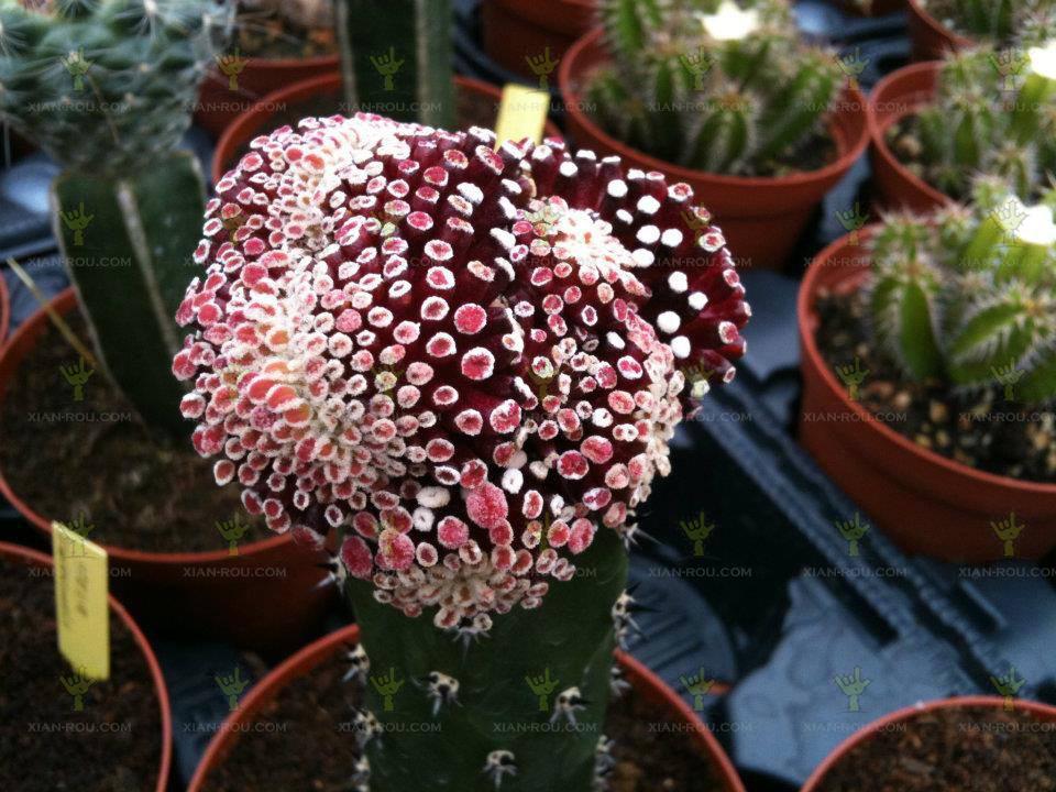 松针牡丹仙人球Mammillaria luethyi